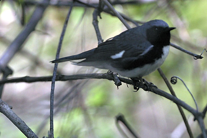 Blackthroated Blue Warbler