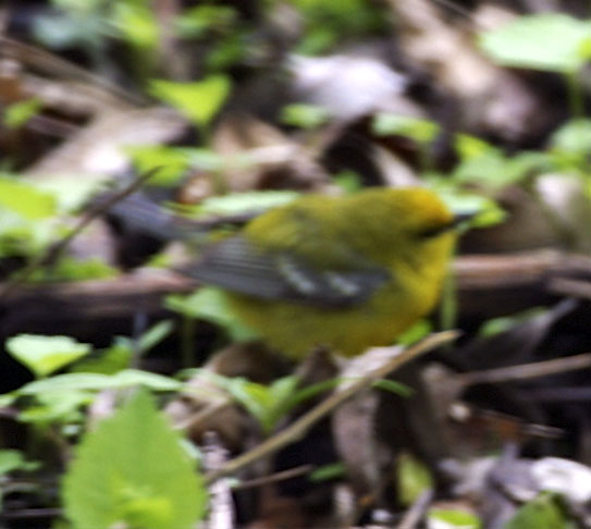 The elusive Blue-winged Warbler