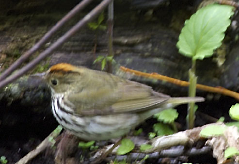 Ovenbird Warbler