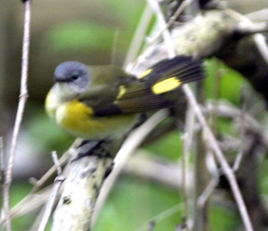 Female American Redstart Warbler