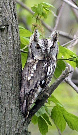 Screech Owl